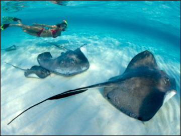 Swimming With Stingrays